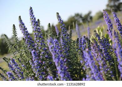 Wild blue flowers, Gotland Sweden.