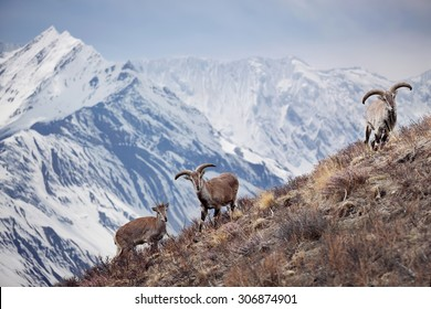 Wild blue sheep are standing on a hill next to Himalayas. Nepal, ACAP, Manang region, (4,550 m)