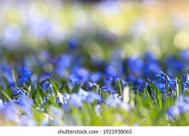wilde blaue Frühlingsblumen, Wildblumen, kleine Blumen, unscharfer abstrakter Hintergrund, viele Blumen