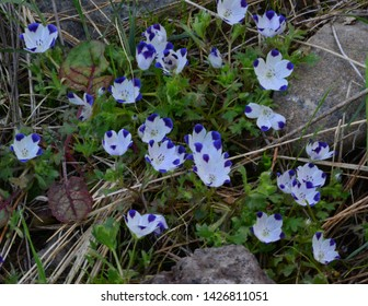 Wild Blue Tipped - White Flowers