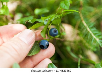 Wild blueberry plant in forest, fresh berry harvest on shrub. Blue antioxidant delicious fruit.