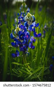 Wild Bluebonnet with green background.