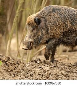 wild wild boar