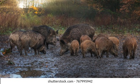 Wild Boar Autumn