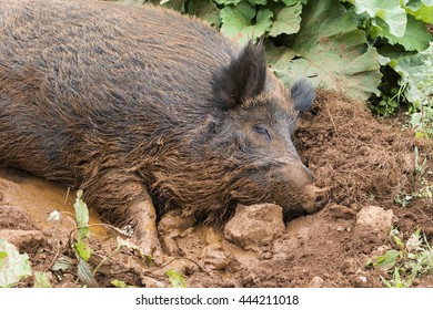 WILD BOAR BATHING WITH MUD AND CLAY AND RESTING