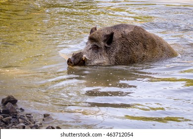 A wild boar bathing in a pond