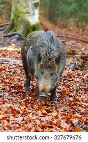 Wild boar, Bavarian Forest National Park, Austria, Europe