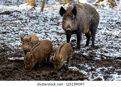 Wild boar with its brood