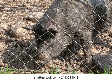 wild boar in a cage