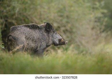 Wild boar cautiously leaving the undergrowth