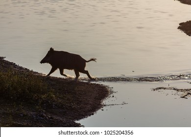 a wild boar coming out of water