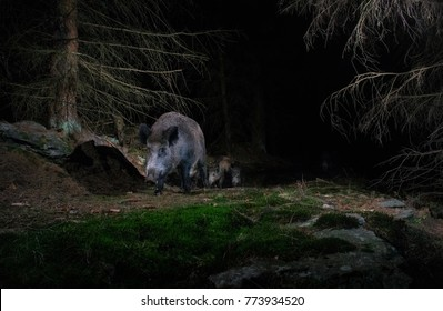 Wild boar during the night in the nice nature habitat from camera trap, nocturnal animals, european wildlife, nature and wilderness, camera trapping in europe