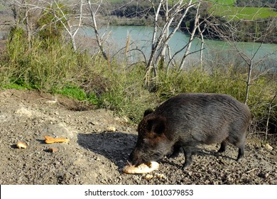Wild boar eating at the edges of the Tevere river, splendid natural park in north Rome in Italy.