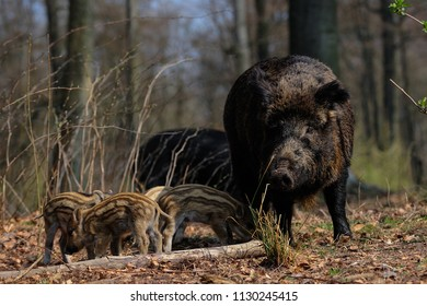 Wild boar family in the forest, spring, germany,