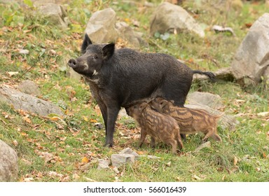 Wild boar feeding two piglets in Canada