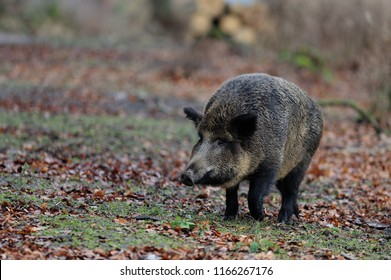 Wild boar female in the forest, autumn, germany, (sus scrofa)