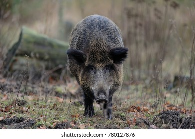Wild boar female in the forest, autumn, (sus scrofa)
