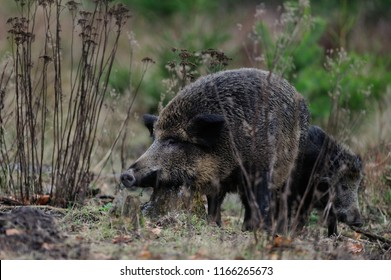 Wild boar female with piglet in the forest, autumn, germany, (sus scrofa)