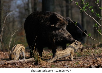 Wild boar female with piglets in the forest, spring, germany, (sus scrofa)