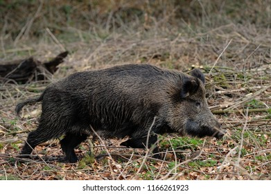 Wild boar female run in the forest, spring, germany, (sus scrofa)