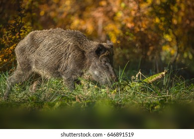 Wild boar foraging in autumn