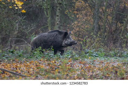 Wild Boar forest autumn Europe