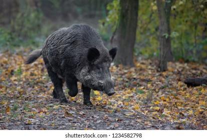 Wild Boar forest autumn Europe