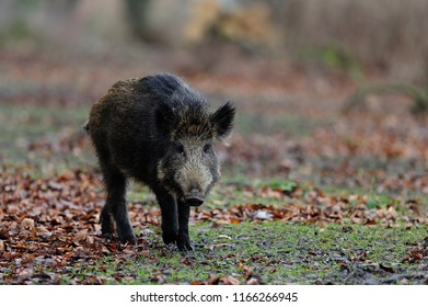 Wild boar in the forest, autumn, germany, (sus scrofa)