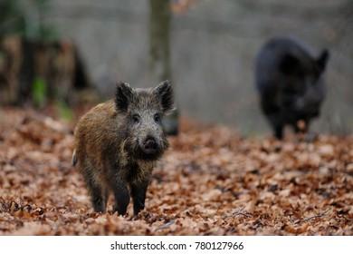 Wild boar in the forest, autumn, (sus scrofa)