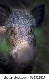 Wild boar Forest background Boar,Sus scrofa