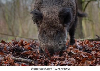 Wild Boar Forest Europe