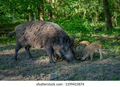 Wild Boar in forest Netherlands