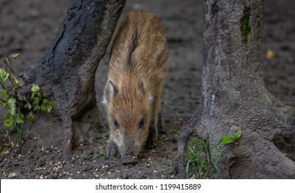 Wild Boar in forest Netherlands