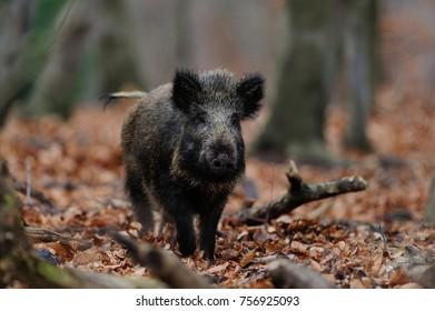 Wild boar in the forest, (sus scrofa)