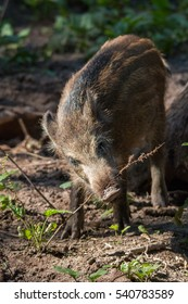 Wild Boar in the forrest, Fuerth, Germany
