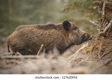 Wild boar in frosty forest taken at low angle in close proximity