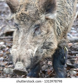 wild boar in game reserve Holedna in Brno,Czech