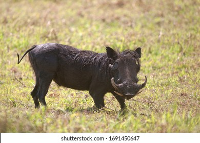 Wild boar in Gorongosa national park