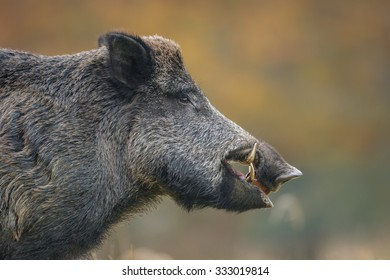 Wild boar head shot, autumn leaves in the background