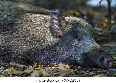 wild boar high resolution