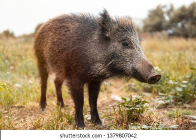 A wild boar or hog stands still in the country side field at the sunset with unfocused background. Wild nature concept