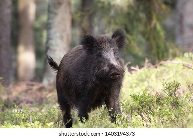 Wild boar hungry for food in dark forest