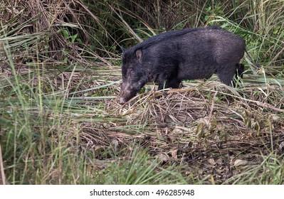 Wild boar, India