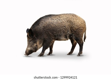 Wild boar isolated on white