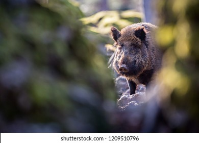 The wild boar, also known as the Eurasian wild pig (Sus scrofa) photograph through hole in rock. Shallow depth of field image with copy space