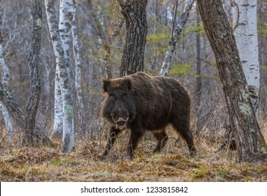 Wild boar, looking at the camera in the forest.