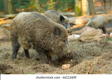 Wild boar looking for food.