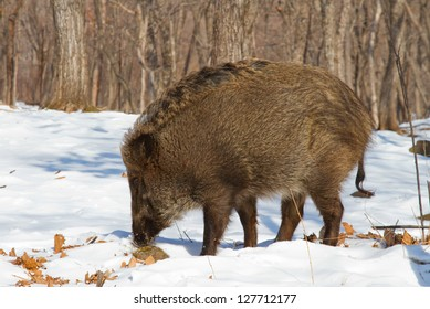 wild boar looking for food in the winter forest