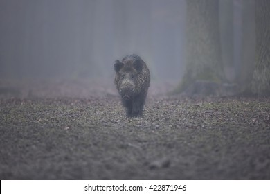 Wild boar male in the foggy forest/wild animal in the nature habitat/Czech Republic