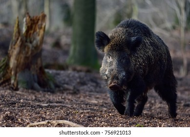 Wild boar male in the forest, march,  (sus scrofa)